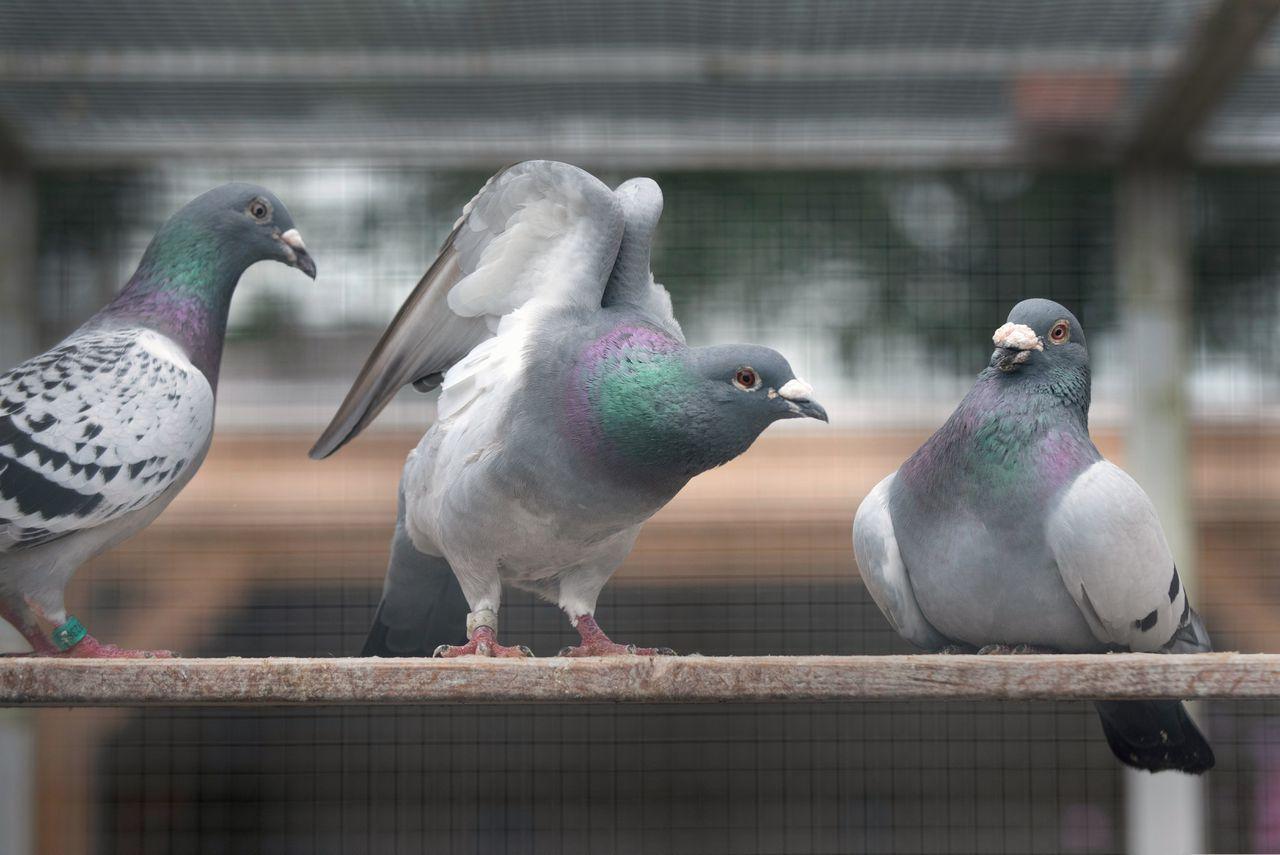 De duiven van Gert Jan Beute.