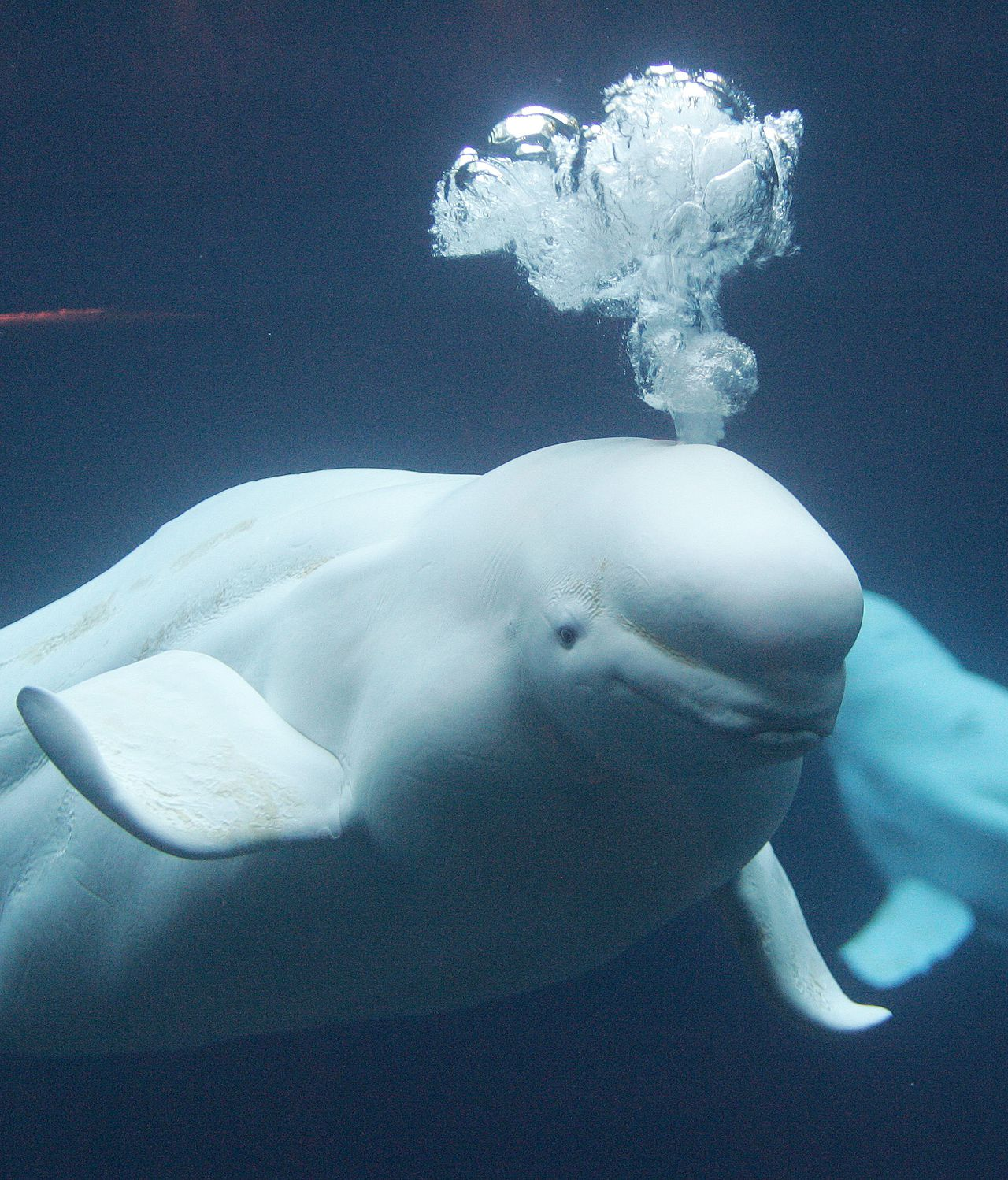 A beluga whale blows bubbles as it explores its new home at the Georgia Aquarium, Oct. 27, 2005, in Atlanta. When the 500,000-square-foot aquarium, bankrolled almost exclusively by a $200 million gift from Home Depot co-founder Bernie Marcus, opens Nov. 23, it will officially become the world's largest by virtually any standard. (AP Photo/John Bazemore)
