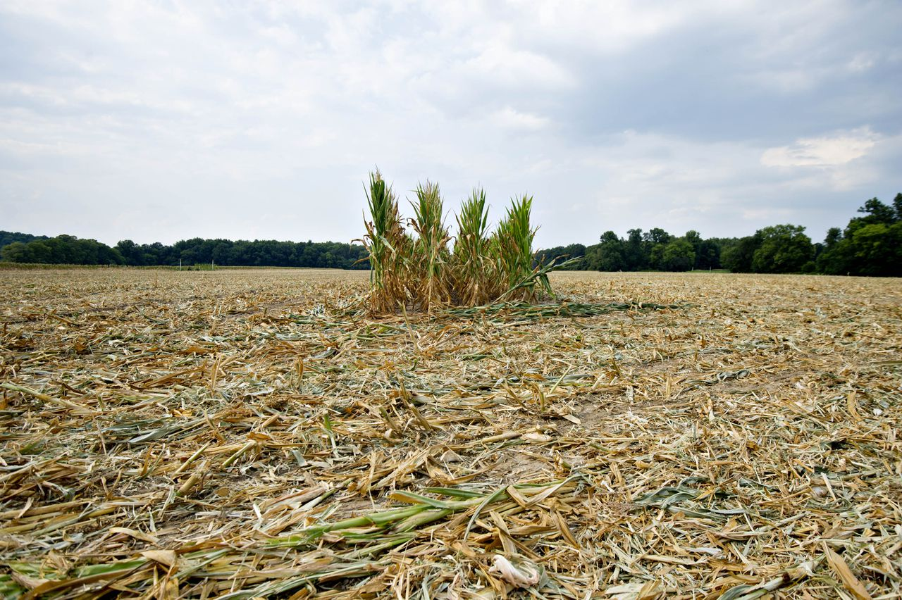 Test rows stand in an otherwise empty field of corn which was cleared after drought conditions and extreme heat during pollination irreversibly damaged the crop in Carmi, Illinois, U.S., on Wednesday, July 11, 2012. The rows were left in the field so insurance adjusters can determine the extent of the crop loss at the plant's maturity. Photographer: Daniel Acker/Bloomberg