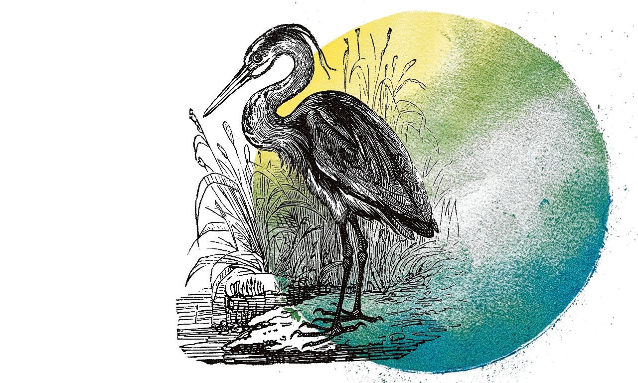 Antique illustration of heron (Ardea) in its enviroment. Herons are water bird of the family Ardeidae