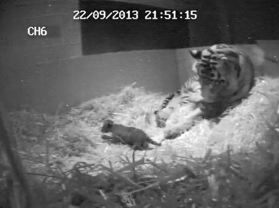 Melati en haar tijgerjong op een still uit de video die gisteren door de London Zoo openbaar werd gemaakt