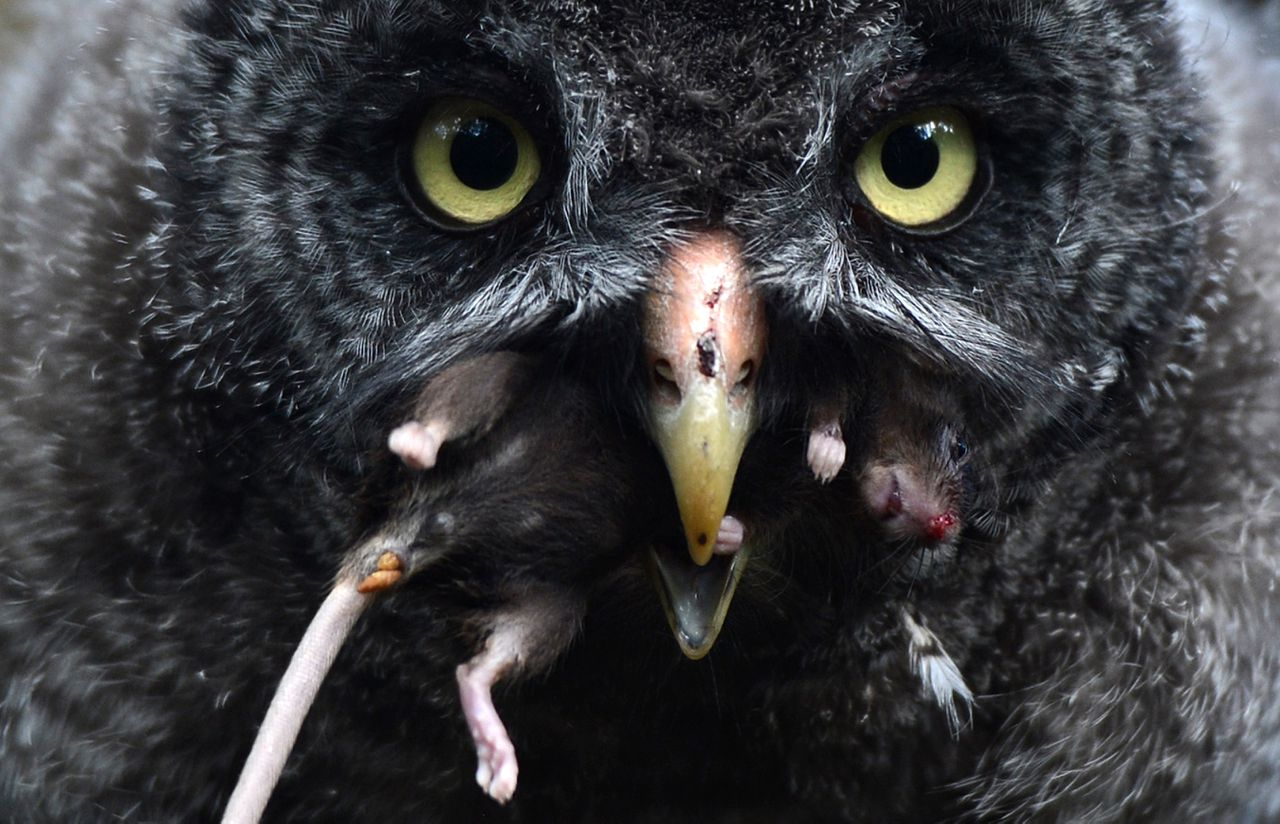A young great grey owl enjoys a mouse in the owls' enclosure at the Zoologischer Garten zoo in Berlin on July 31, 2012. Five female great grey owls hatched at the zoo on May 18, 2012. The great grey owl chicks, their parents and conspecifics living at the zoo eat up to 30 mouses every day. In the wild, the animals live in the Northern Hemisphere and have lemmings and voles on their menu. AFP PHOTO / CHRISTOF STACHE