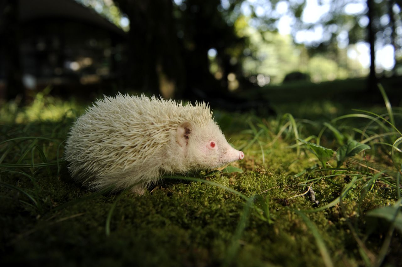 An albino hedgehog walks in the Zoo of the Botanical Garden (Dendrarium) in the Russian Black Sea resort of Sochi, on September 5, 2001. The hedgehog was found at one of the construction sites of the 2014 Winter Olympics . AFP PHOTO / MIKHAIL MORDASOV