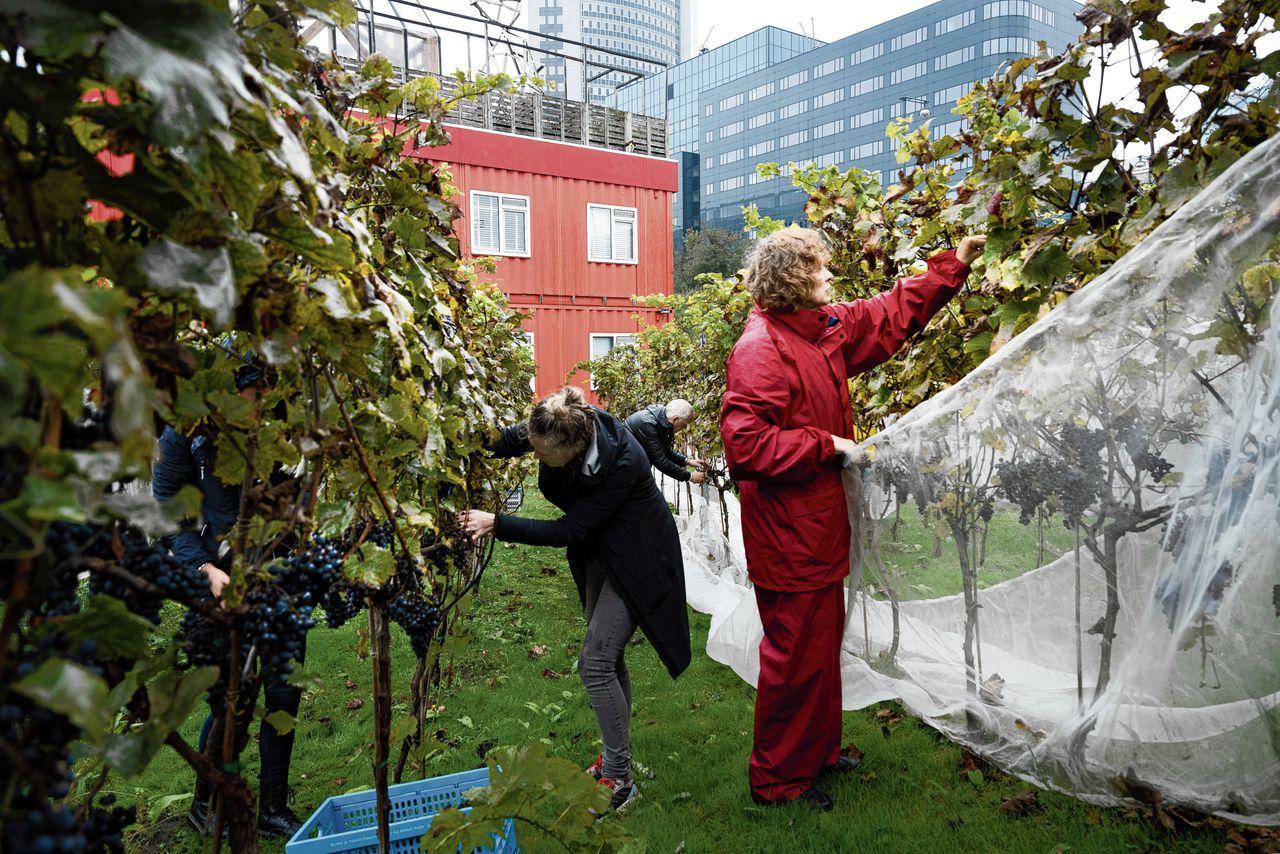 Het jaarlijkse oogstfeest van Amsterdamse Stadswijngaard Wijn van Bret bij Amsterdam Sloterdijk. De eerdere plannen – lunch, diner, een band – moesten worden afgeblazen.