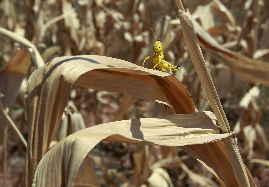 A grasshopper sits on a dried up leaf on a stalk of corn in a field near Edmond, Okla., Thursday, July 19, 2012. Oklahomans are bracing for another hot, dry summer as the drought in the state intensifies and forecasters say triple-digit heat with little chance of rain is to continue. (AP Photo/Sue Ogrocki)