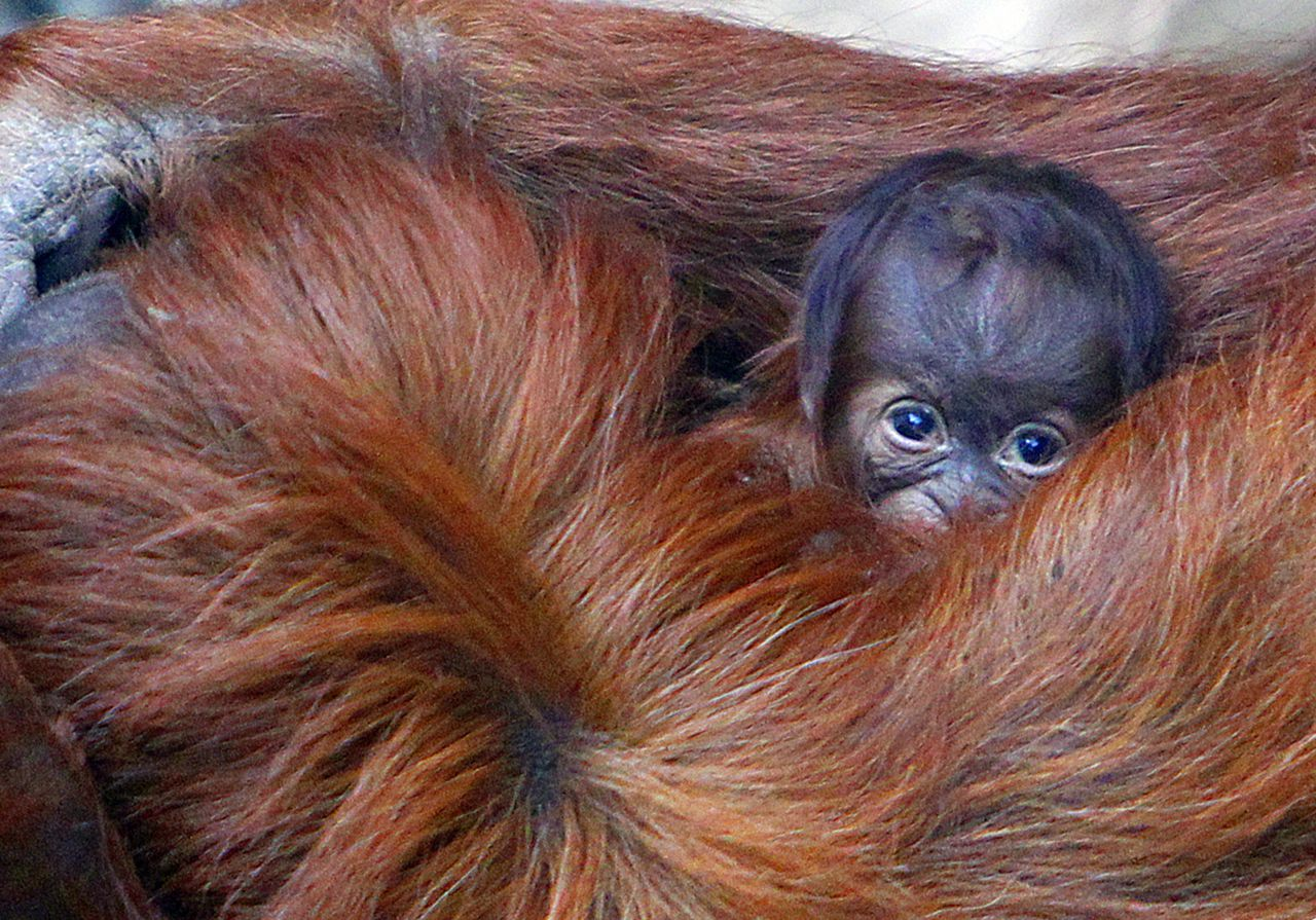 Emma the Sumatran Orangutan holds her unnamed three-day-old infant, at Chester Zoo, in Chester, England, Monday Oct. 22, 2012. (AP Photo/ Peter Byrne/PA) UNITED KINGDOM OUT NO SALES NO ARCHIVE