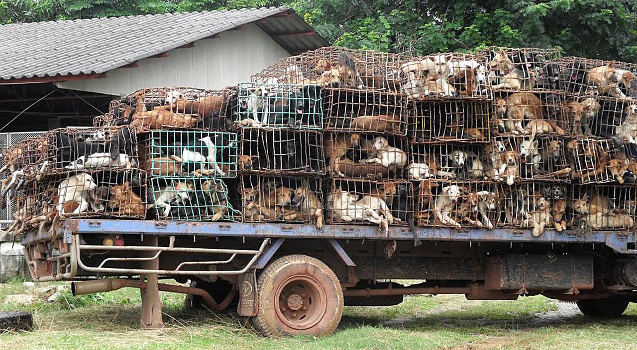 THAILAND OUT This photo taken on August 12, 2011 shows a truck loaded with dogs stuffed in cages seen at an undisclosed location in Thailand's Nakhon Phanom province. Thai authorities have rescued more than a thousand dogs, which were found stuffed into tiny cages and being smuggled out of the country to be cooked and eaten in Vietnam, officials said on August 13, 2011. Police intercepted four trucks stacked high with crates packed with the animals in an operation late on August 11 in Nakhon Phanom province in northeastern Thailand near the border with Laos. THAILAND OUT AFP PHOTO