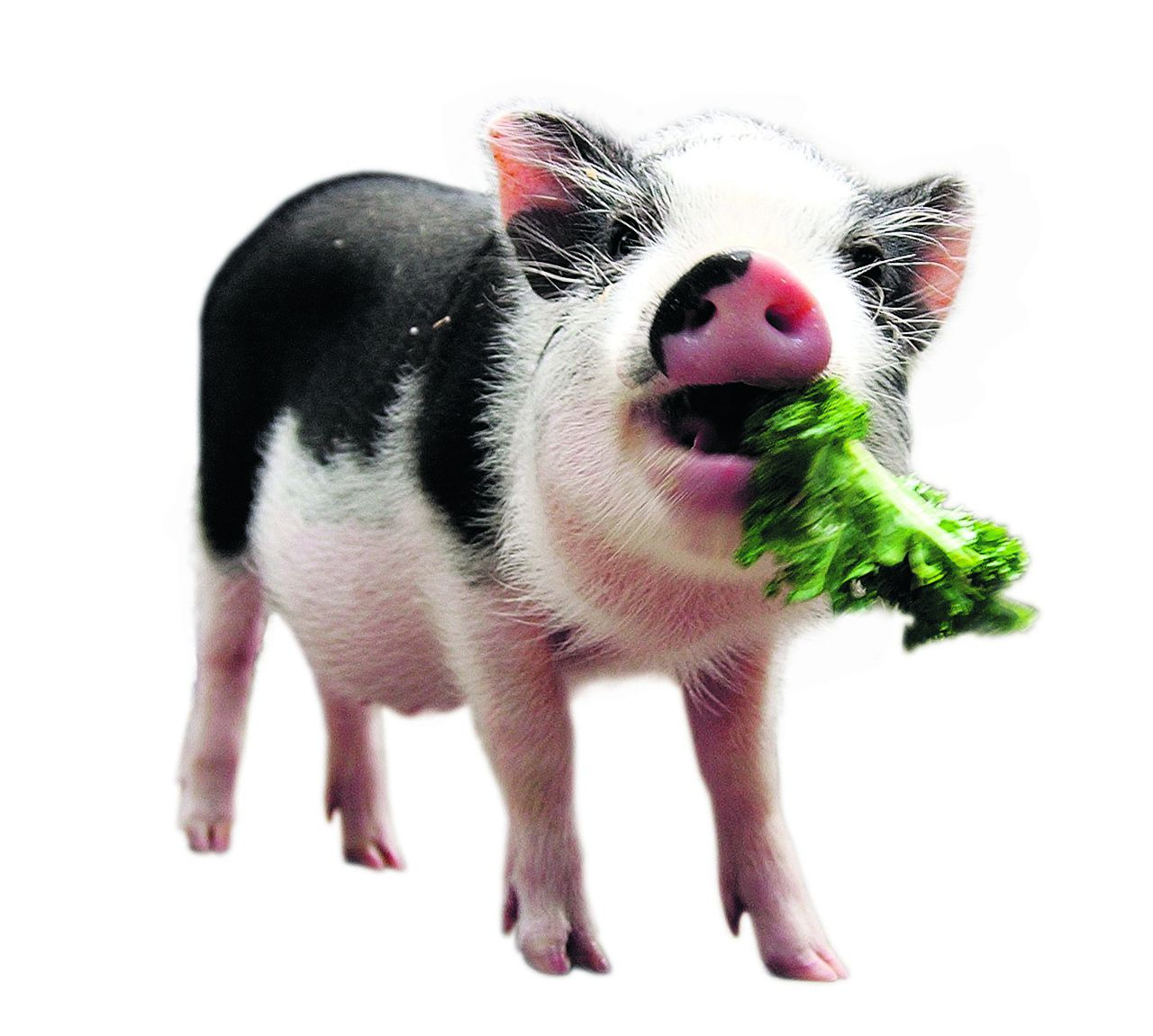 Vietnamese pot-bellied pig Otis eats a snack of kale as he and a second pot-bellied pig are introduced, 15 July, 2004, at the Central Park Children's Zoo in New York. The three-month old pot-bellied pigs were acquired from a farm in New York State. AFP PHOTO/Stan HONDA