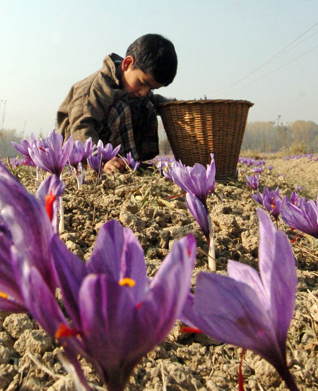 Een jongetje in Kashmir plukt de bloemen van de saffraankrokus. Foto AFP An Indian Kashmiri child collects saffron from a field at Pampore on the outskirts of Srinagar, 31 October 2007, as the season of cultivation of the prized crop began in the valley. Many historians believe that it was in this region that the cultivation of the purple Crocus Sativus saffron flower first began, although it is impossible to be sure where its origins lie.