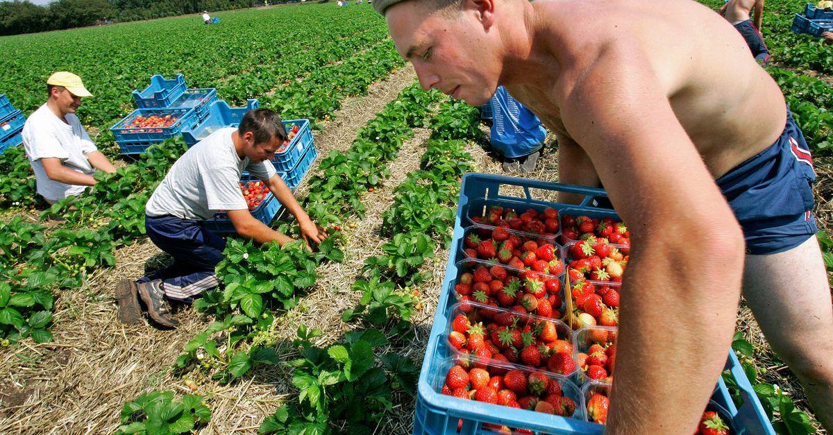 Zonder arbeidsmigranten worden tomaten niet geplukt