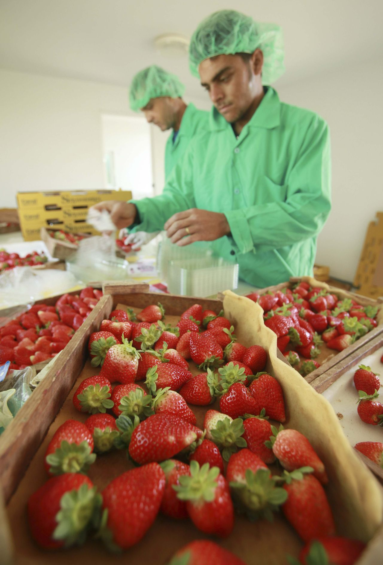Palestinian farmers sort freshly harvested strawberries for export on a farm in Beit Lahiya in the northern Gaza Strip November 27, 2010. Gaza farm workers rose at dawn on Sunday to witness the start of exports to Europe that they hope will herald a wider expansion of trade. The Gaza farmers hope to send 1,000 tonnes of strawberries to Europe through a partly eased Israeli blockade in the coming week. Picture taken November 27, 2010. To mach feature PALESTINIANS-ISRAEL/GAZA-EXPORTS REUTERS/Suhaib Salem (GAZA - Tags: POLITICS AGRICULTURE FOOD BUSINESS)