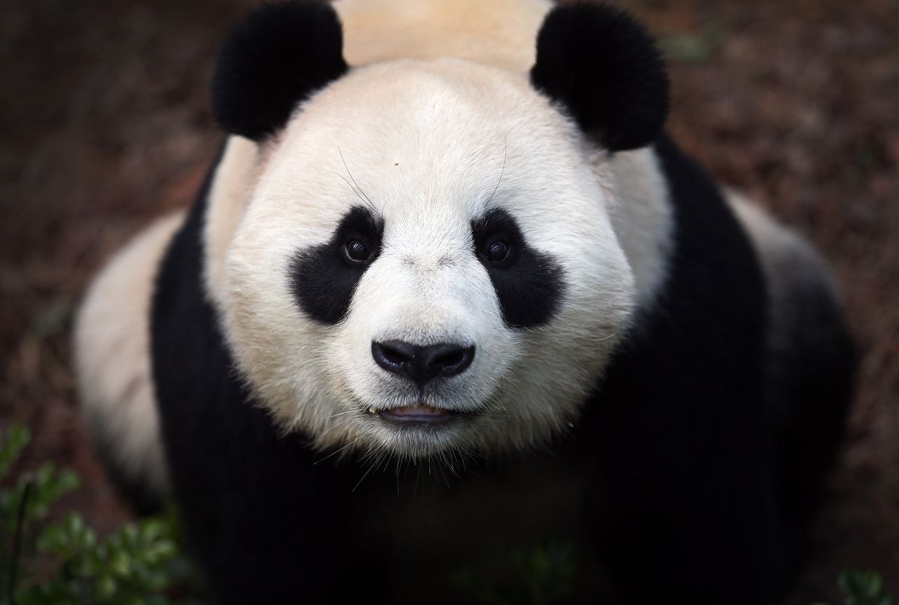 """Female Giant Panda """"Jia Jia"""", one of two Giant Pandas from China is seen in its enclosure on Monday Oct. 29, 2012 in Singapore. These two Giant Pandas are from China and will be residing at the River Safari Singapore, part of the Wildlife Reserves Singapore's new attraction opening in 2013. This is part of the organization's continuous efforts in boosting tourism and generating public awareness of the world's struggle in preserving its endangered species.(AP Photo/Wong Maye-E)"""