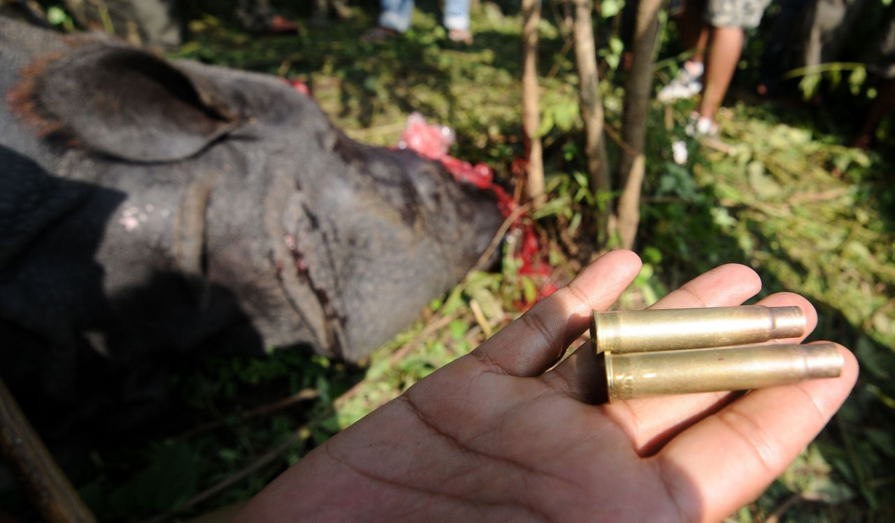An Indian forest official shows the bullets used by poachers to shoot a one horned horn Rhinoceros, which was killed and de-horned by the poachers at Karbi hills near Kaziranga National Park, some 250km east of Guwahati the capital city the northeastern state of Assam on September 27, 2012. A rhino was killed by poachers and its horn removed in the early hours on Thursday, barely a day after one was killed and another left bleeding in the world-famous Kaziranga National Park. AFP PHOTO/ Biju Boro