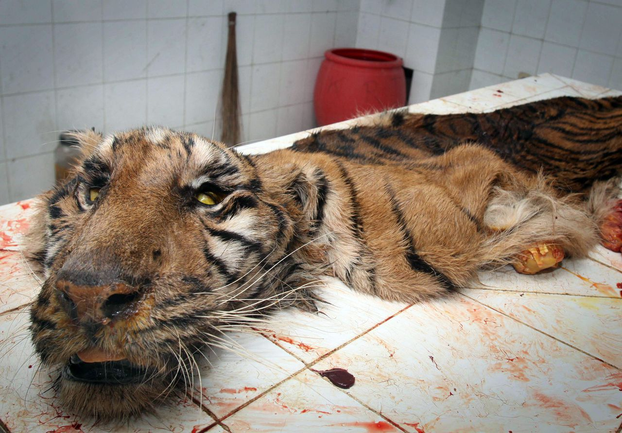 TOPSHOTS In this photo taken on August 14, 2010 the skin of a dead Sumatran tiger lies on a table in a veterinary clinic at Surabaya Zoo after it was skinned from the carcass to be preserved. The 20-year-old critically endangered Sumatran tiger died earlier in the day as neglect and infighting between the management of Indonesia's largest zoo cost the lives of hundreds of animals, zoo official said on August 16, 2010. Between June and August alone, 20 animals died from illnesses and poor living conditions such as overcrowded cages, as the officials were busy fighting over who would manage the facility according to Surabaya zoo's interim management member Tony Sumampau. AFP PHOTO