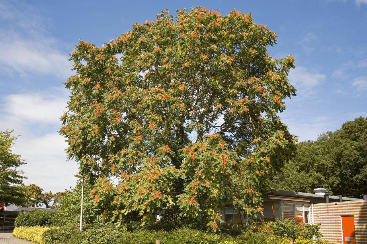 De mannelijke bloemen van de hemelboom hebben een indringende geur.