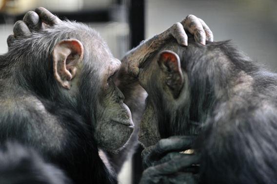Twee vlooiende chimpansees. Duizenden makaken en 68 chimpansees zijn sinds 1988 wereldwijd in ruim 6.000 experimenten gebruikt als proefdier, maar het nut blijkt nu 'zeer beperkt'.