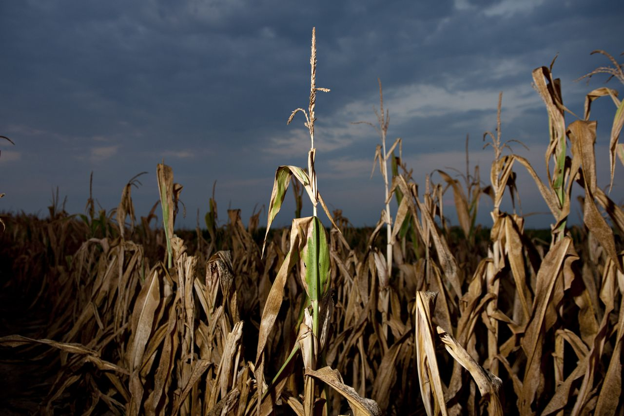 Corn plants damaged by extreme heat and drought conditions stand in a field in Carmi, Illinois, U.S., on Wednesday, July 11, 2012. More than 1,000 counties in 26 states are being named natural-disaster areas, the biggest such declaration ever by the U.S. Department of Agriculture, as drought grips the Midwest. Photographer: Daniel Acker/Bloomberg