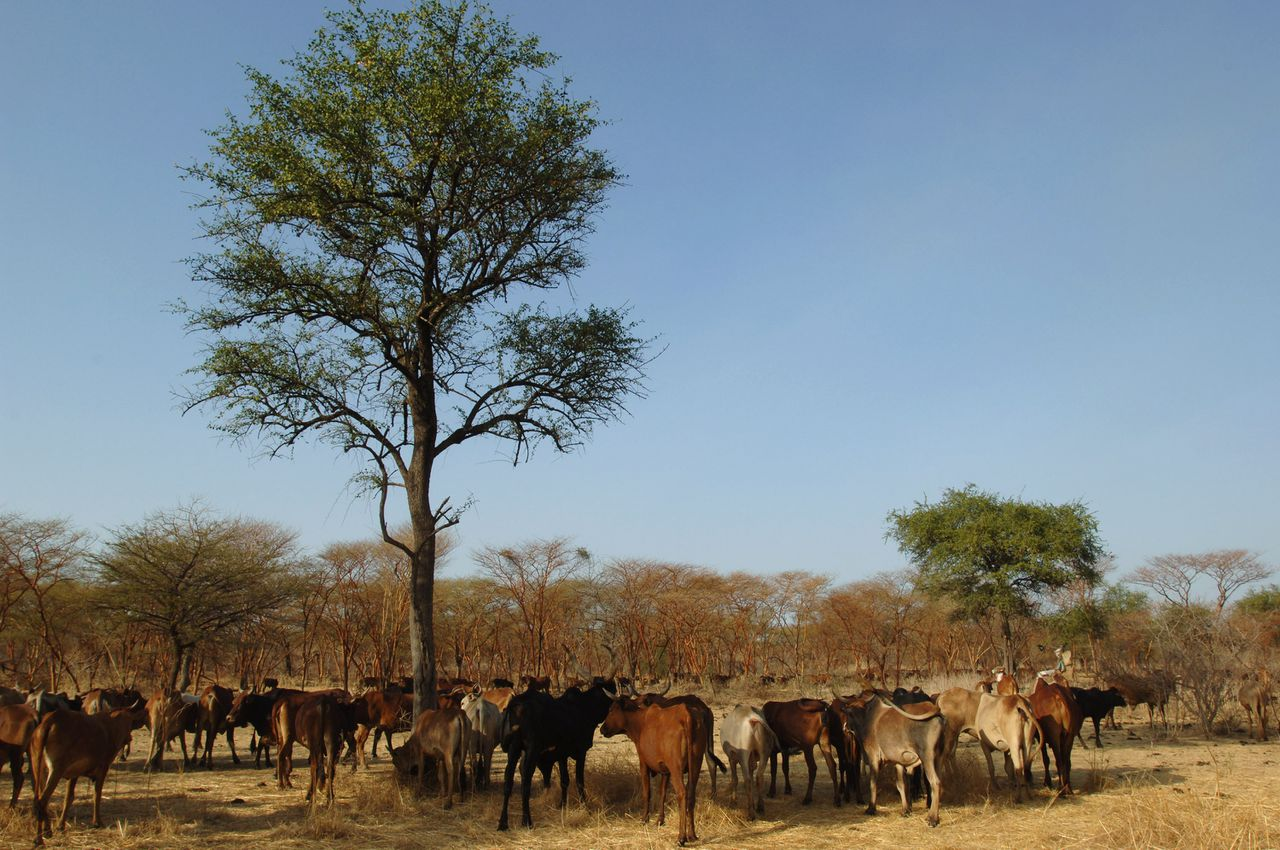A picture released by the United Nations Mission in Sudan (UNMIS) on March 13, 2009, shows a Sudanese Misseriya Arab cattle camp during an annual migration south to dry season pastures in the Abyei area on January 19, 2009. The Misseriya move according to a biannual seasonal migration which have brought them into conflict with the Dinka, who migrate north into the same area and with whom they perforce compete over scarce water and grazing resources. AFP PHOTO/HO/UNMIS/TIM MCKULKA ==RESTRICTED TO EDITORIAL USE==