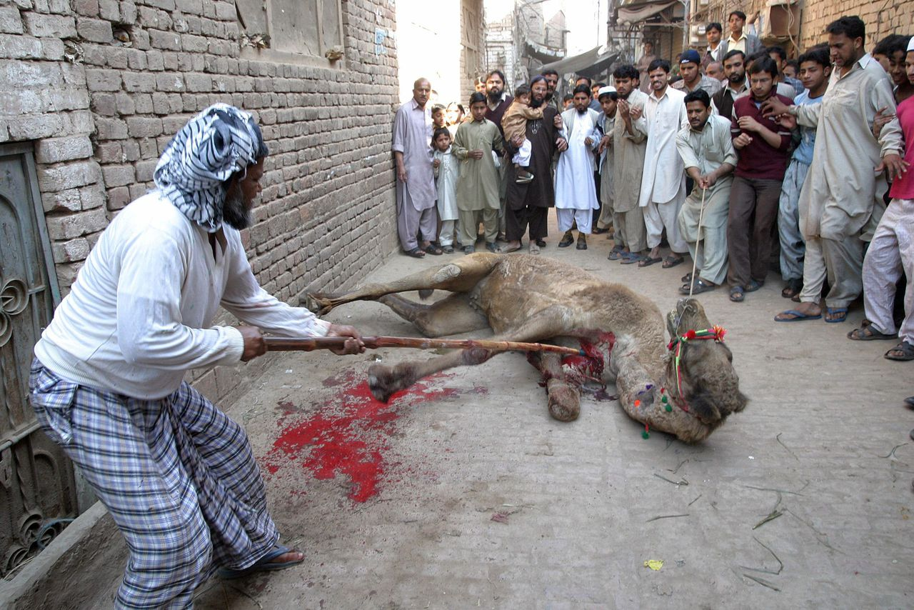 Pakistani Muslims slaughter a camel during Eid-al-Adha festival in the central city of Multan January 11, 2006. Muslims in Pakistan on Wednesday celebrated Eid-al-Adha by slaughtering sheep, goats, cows and camels to commemorate Prophet Abraham's willingness to sacrifice his son, Ismail, on God's command. REUTERS/Asim Tanveer Ritueel slachten kameel tijdens offerfeest
